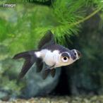 (国産金魚)パンダ出目金(1匹)