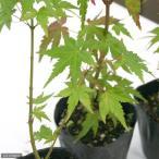 (盆栽)モミジ(椛) 苗 品種おまかせ 3号(1ポット)