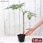 (山野草)山菜 トゲなしタラノキ 苗木(1本) 家庭菜園 盆栽 庭木
