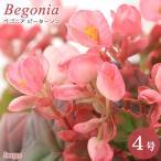(観葉植物)ベゴニア ピーターソン 4号(1鉢)