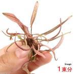 (水草)クリプトコリネsp.フラミンゴ(デナリー)(無農薬)(1束分) 北海道航空便要保温