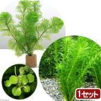 (水草)ライフマルチ(茶) メダカ・金魚藻セット(1セット)+おまかせ浮き草1種(3株)