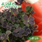 Yahoo!チャーム charm ヤフー店(観葉植物)四つ葉のクローバー しあわせみぃつけた 3号(1ポット)(ペーパーバッグ付き)(説明書付き) 北海道冬期発送不可