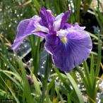 (ビオトープ/水辺植物)花菖蒲 嬉野の虹(ウレシノノニジ)(1ポット分)