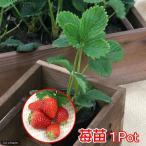 (観葉植物)野菜苗 イチゴ(品種おまかせ) 3号(1ポット) 家庭菜園 北海道冬季発送不可