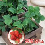 (観葉植物)野菜苗 イチゴ(品種おまかせ) 3号(3ポット) 家庭菜園 北海道冬季発送不可