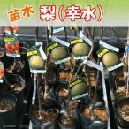 (観葉植物)果樹苗 ナシ 幸水 5号(1ポット) 家庭菜園