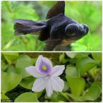 (国産金魚)(水草)出目金(デメキン)黒(1匹) + ホテイ草(1株)セット