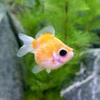 (国産金魚)出目ピンポンパール(1匹)