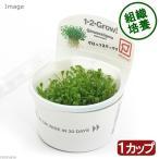 (水草)組織培養1-2-GROW(グロッソスティグマ)(トロピカ社製)(無農薬)(1カップ) 北海道航空便要保温