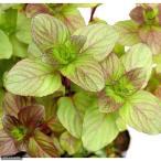 (ビオトープ)水辺植物 ウォーターミント(1ポット) 湿性植物