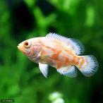 (熱帯魚)アルビノタイガーオスカー(1匹)