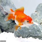 (国産金魚)更紗オランダ獅子頭/更紗オランダシシガシラ 飯田産 3歳(1匹)