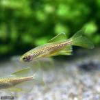 (熱帯魚)ロングフィンレオパード・ダニオ(10匹)