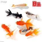 (国産金魚)(B品)金魚ミックス Sサイズ(10匹)