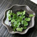 (水草)私の小さなアクアリウム かわいい丸葉のアマゾンチドメグサとオオサンショウモ(益子焼 苔受皿 深大 焼締) 本州・四国限定
