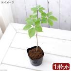 (山野草)山菜 コシアブラ(漉油)3〜4号(1ポット) 家庭菜園 盆栽 庭木