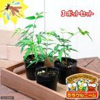 Yahoo!チャーム charm ヤフー店(観葉)ハーブ苗 ミラクルニーム 3号(お買い得3ポットセット) 虫除け植物
