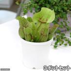 (食虫植物)サラセニア プルプレアSSPベノーサ(3ポットセット)
