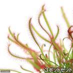 (食虫植物)アフリカナガバモウセンゴケ 赤花(3ポットセット)