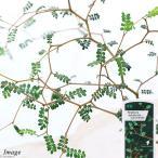 (観葉植物)メルヘンの木 ソフォラ リトルベイビー 3号(1ポット) 北海道冬季発送不可