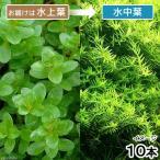 (水草)ロタラ ロトンディフォリア GOUTIN-RED(水上葉)(無農薬)(10本)