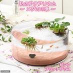 (めだか)私のアクアリウム 〜メダカの泉〜 ピンク フラットグラス(直径25×H9cm) 飼育セット 本州四国限定