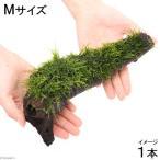 (水草)育成済 ジャイアント南米ウィローモス 流木 Mサイズ(無農薬)(1本)