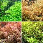 (水草)ロタラミックス(水中葉)(無農薬)(4〜5種計15本) 北海道航空便要保温