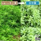 (水草)ベトナムゴマノハグサ(水上葉)(無農薬)(5本) 北海道航空便要保温