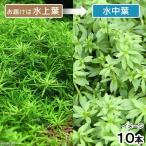 (水草)ベトナムゴマノハグサ(水上葉)(無農薬)(10本)