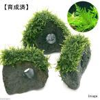 (水草)育成済 ジャイアント南米ウィローモス 穴あき溶岩石(無農薬)(1個)