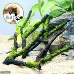 (水草)巻きたて ジャイアント南米ウィローモス 枝状流木 Sサイズ(無農薬)(1本)