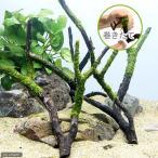 (水草)巻きたて ジャイアント南米ウィローモス付 枝状流木 Mサイズ(無農薬)(1本)
