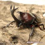 (昆虫)国産カブトムシ 幼虫(2〜3令)(50匹) 北海道航空便要保温