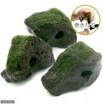(水草)巻きたて ジャイアント南米ウィローモス 穴あき溶岩石(無農薬)(1個)