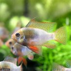 (熱帯魚)レインボー・ラミレジィ(国産ブリード)(1ペア) 北海道・九州航空便要保温
