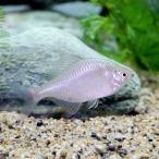 (淡水魚)タイリクバラタナゴ プラチナ (1匹)