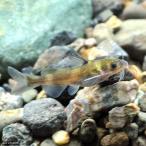 (淡水魚)ギギ(1匹)