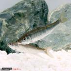 (淡水魚)オイカワ Lサイズ(1匹)