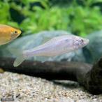 (淡水魚)イチモンジタナゴ(3匹)
