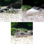 (熱帯魚)コリドラス・トリオ Aセット(3匹)(各