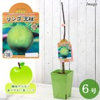 (観葉植物)果樹苗 ベランダ リンゴ 王林 7号(1鉢) 家庭菜園