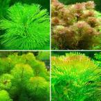 (水草)メダカ・金魚藻 カボンバミックス(3種/計15本) 北海道航空便要保温