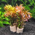 (水草)ライフマルチ(茶) ロタラロトンディフォリア(水中葉)(無農薬)(1個)