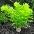 (水草)メダカ・金魚藻 ライフマルチ(茶) ウトリクラリア アウレア(ノタヌキモ)(無農薬)(1個) 北海道航空便要保温