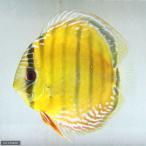 (熱帯魚)アレンカーレッド・ディスカス クリペア産(ワイルド)(1匹) 北海道・九州・沖縄航空便要保温