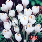 (観葉)スーパージャンボ クロッカス球根(水栽培向き) 白色系(5球セット)