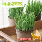 (観葉)ペットグラス 猫草 ネコちゃんの草 燕麦 直径8cmECOポット植え(無農薬)(5ポットセット)