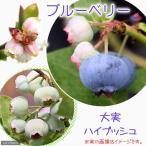 (観葉植物)果樹苗 ブルーベリー 大実ハイブッシュ系 5号(1ポット) 家庭菜園